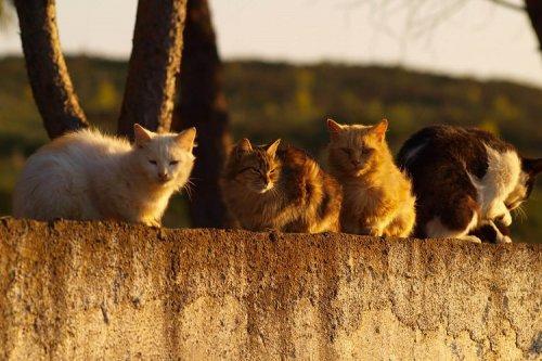 چرا استرالیا باید دست به کشتار گربهها بزند؟