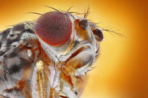 کشف نخستین شواهد از درد مزمن در حشرات برای درمان دردهای انسان