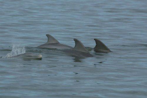 کشف شواهد بیشتری از مقاومت آنتی بیوتیکی در دلفین ها